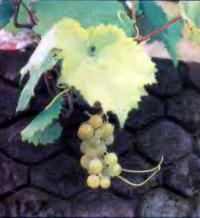 Фундамент хорошо аккумулирует тепло — в сентябре успевает вызреть виноград