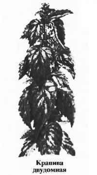 Крапива двудомная
