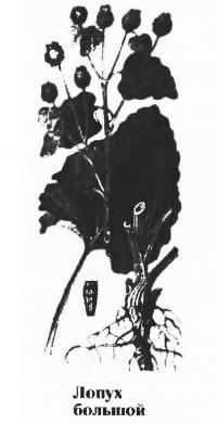 Лопух большой (репейник)